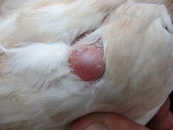 Признак сальмонеллеза у голубя