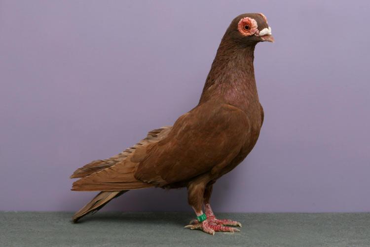 Декоративный голубь породы Барб