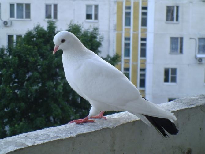 Фото голубя на перилах