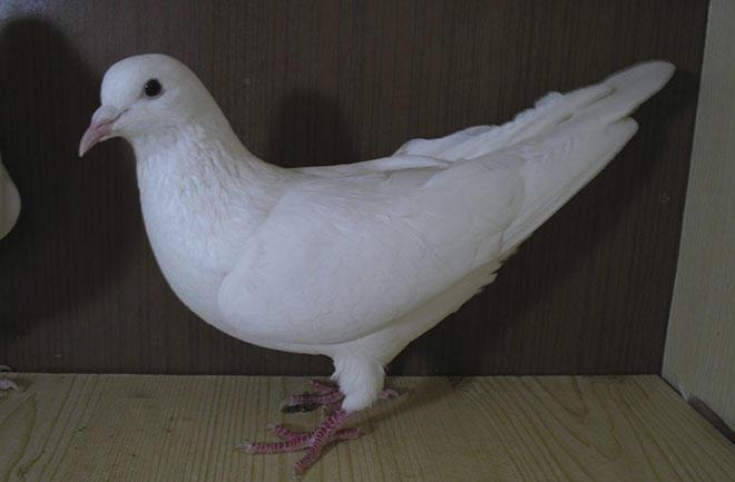 Иранские голуби белого цвета в голубятне
