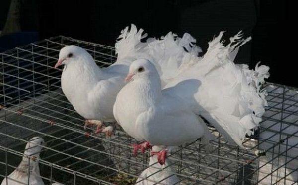 Как размножаются голуби: разведение голубей в домашних условиях