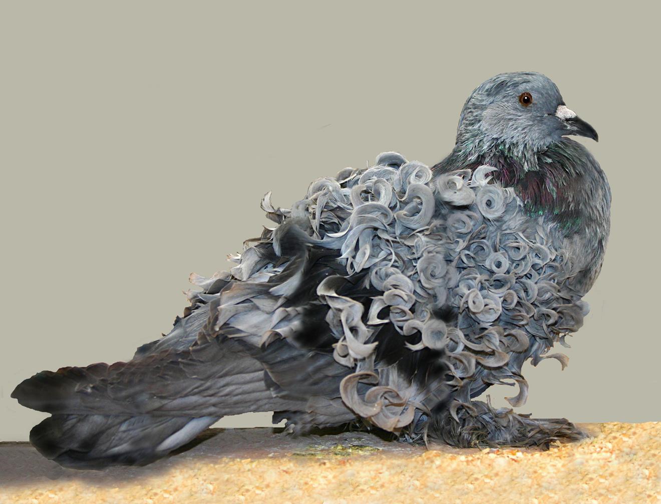Фото декоративного курчавого голубя