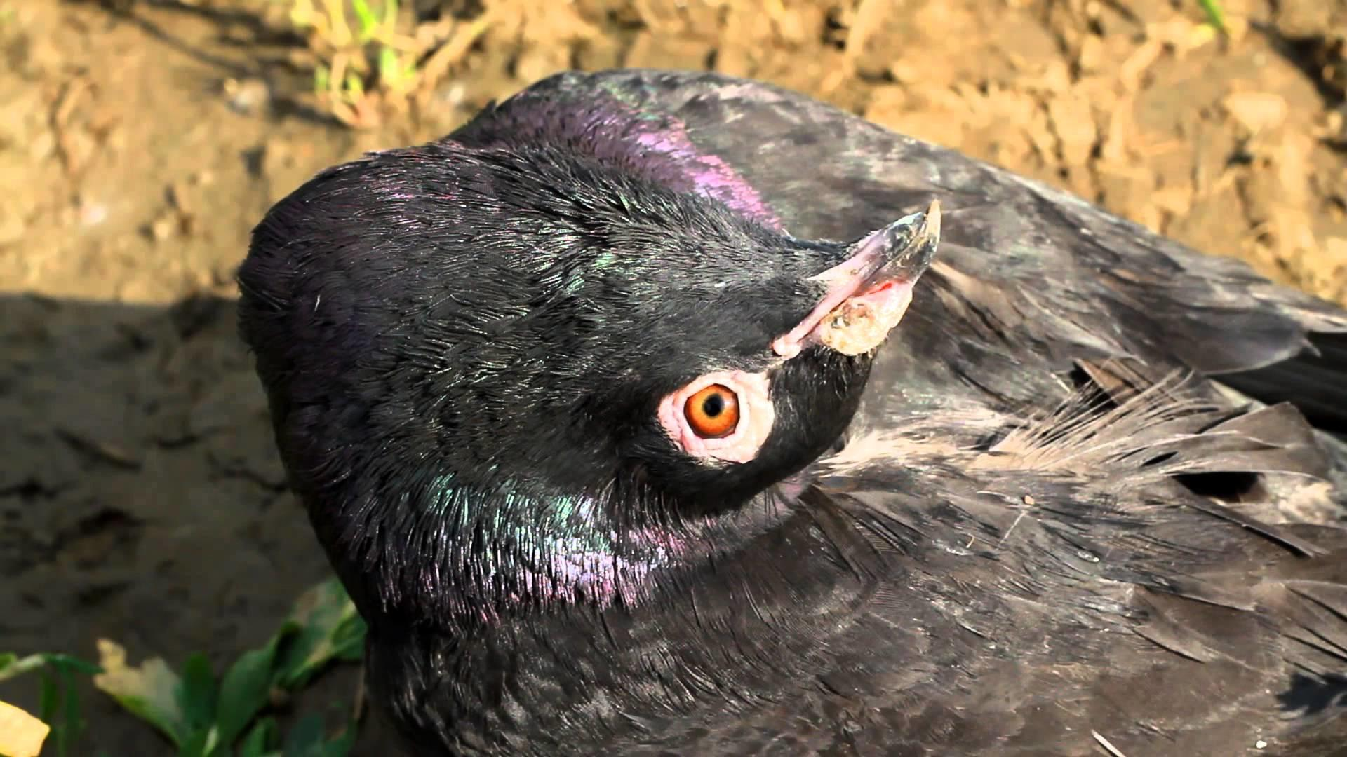 Болезнь вертячка у птицы