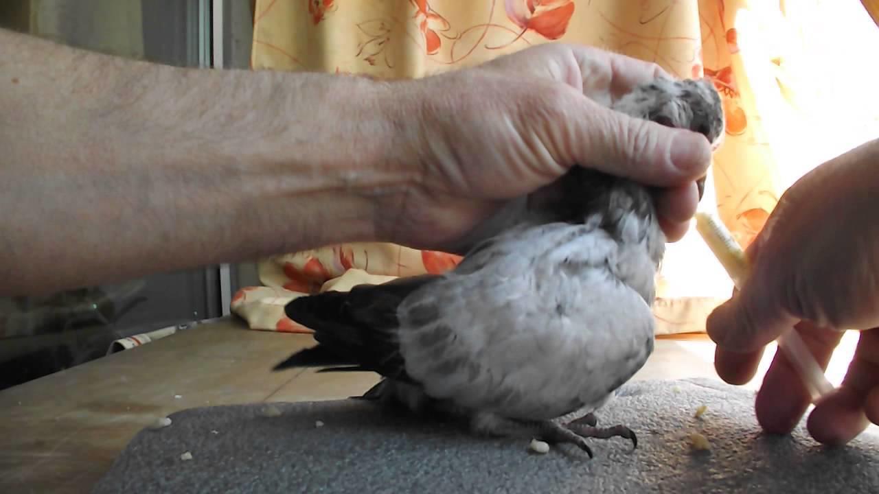 Принудительное кормление птенца голубя