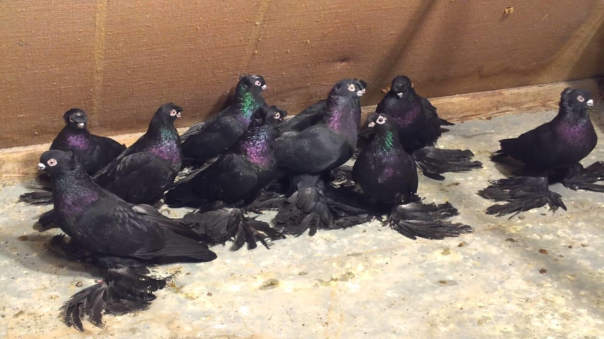 Узбекские голуби черного цвета