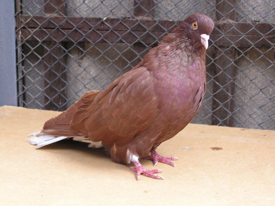 Фото голубя Николаевской породы