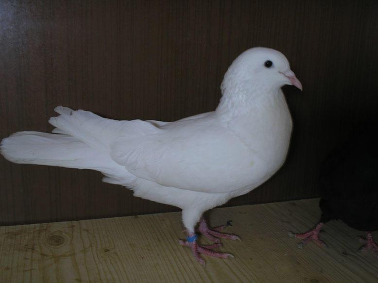 Супер летный иранский бойный голубь