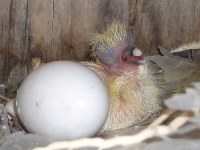 Чем кормить птенца голубя в домашних условиях