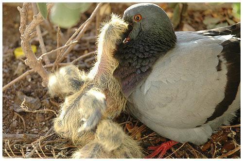 Фото голубя с потомством