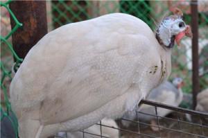 Сибирская белая цесарка на заборе