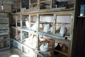 Куры в клетках в курятнике