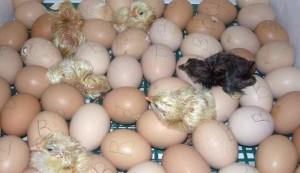 Фото суточных цыплят возле яиц