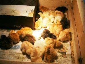Фото цыплят после вылупления