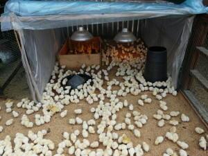 Фото цыплят в вольере