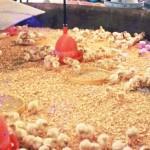 Фото бройлерных цыплят в огороженном месте
