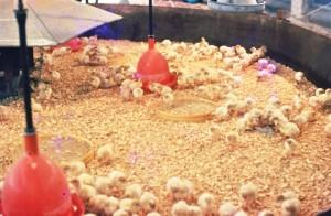 Фото цыплят в огороженном месте
