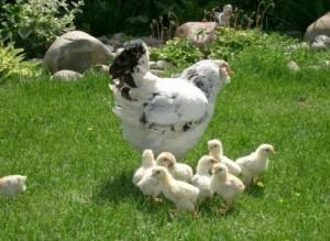 Цыплята с квочкой на прогулке