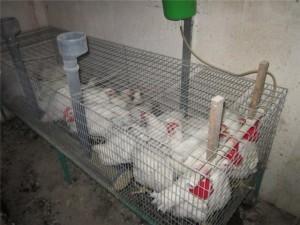 Фото белых бройлеров в клетке