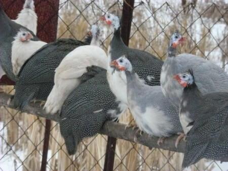 Группа цесарок в домашнем загоне