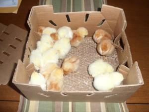 Фото цыплят в коробке