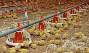 Фото цыплят на птицеферме