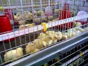 Фото цыплят в клетке