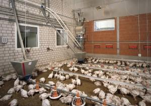 Фото бройлеров на птицеферме