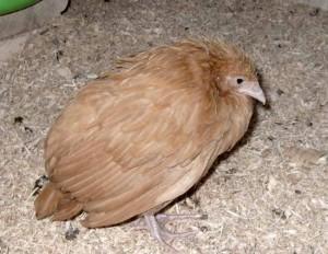 Курица, которая болеет кокцидиозом