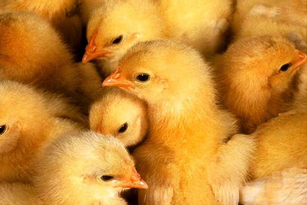 Почему цыплята чешутся диагностика