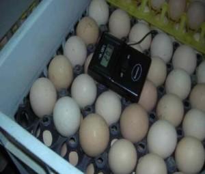Проверка температуры яиц в инкубаторе