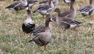 Стая гусей на поле