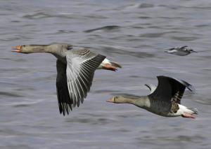 На места гнездования эти гуси прилетают ранней весной