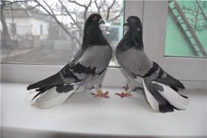 Два серых голубя Николаевской породы у окна