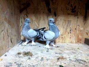 Родина этих птиц - Турция