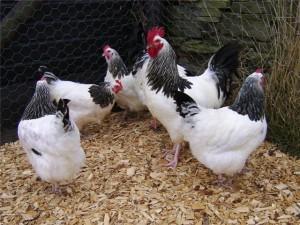 Черно-белые яичные куры