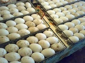 Фото гусиных яиц в ящиках