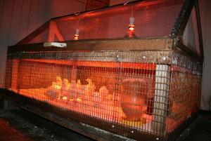 Зимой индюшат обогревают с помощью ламп