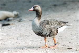 Зимой белолобого гуся можно увидеть на берегах Средиземного, Каспийского, а также Черного морей