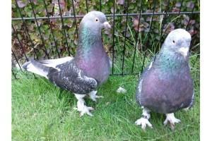 Два голубя вида Такла на траве
