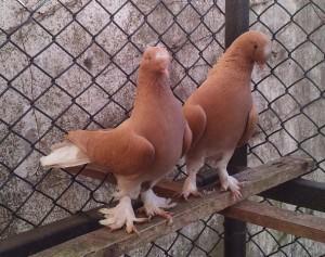 Такла с перьями коричневого цвета