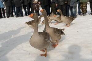 Фото гусей в зимнюю пору года
