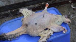 Фото ощипанной тушки гуся