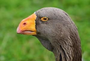 Голова тульского бойцовского гуся