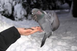 Сизый голубь ест из руки