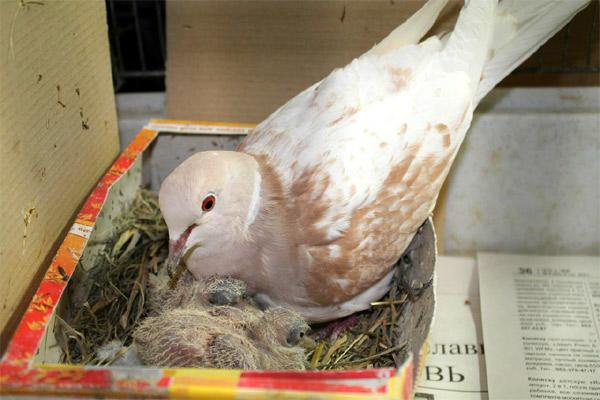 Голубь сидит на яйцах