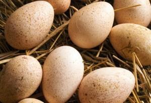Индюшиные яйца на сене