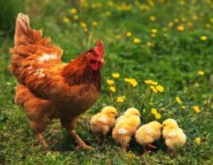 Как точно определить возраст курицы несушки: проверенные методики