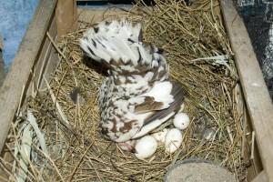 Курица, которая высиживает яйца