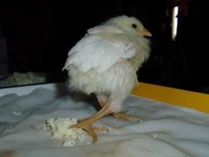 Проявление рахита у цыпленка