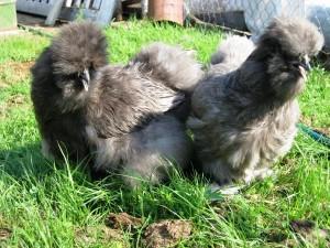 Голубая шелковая курица на траве